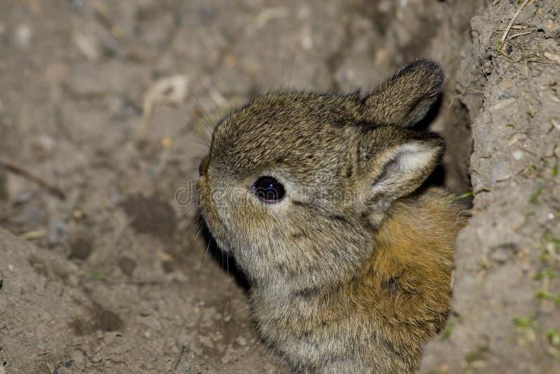 Het konijn van de baby royalty-vrije stock foto