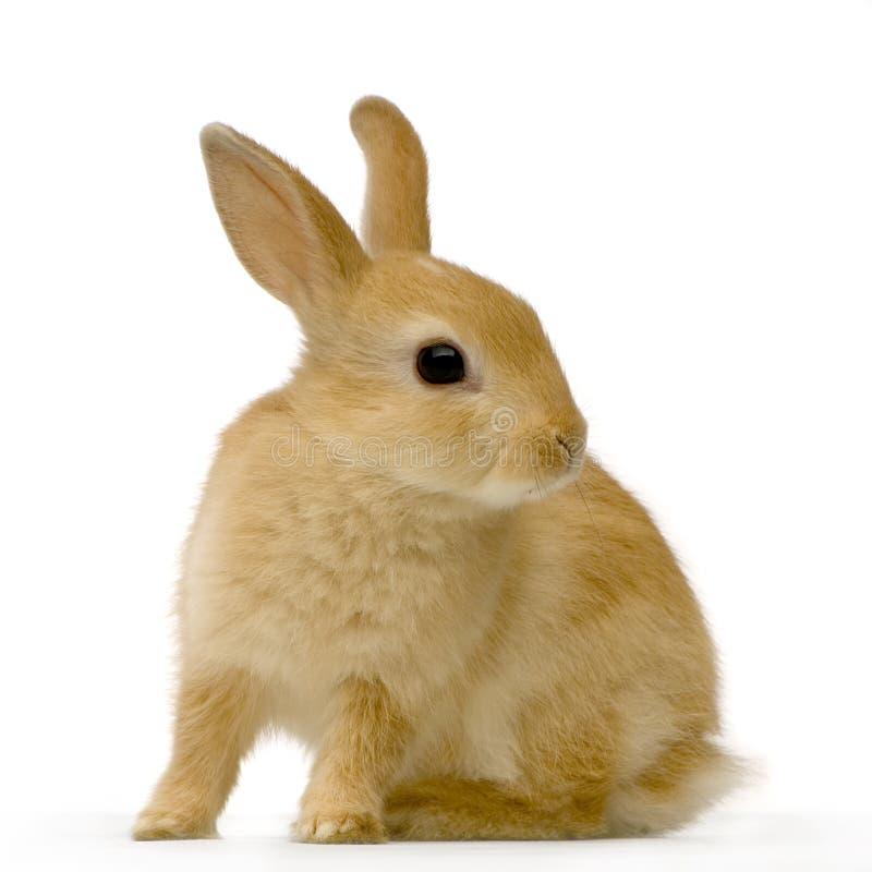 Het konijn van de spion royalty-vrije stock foto's