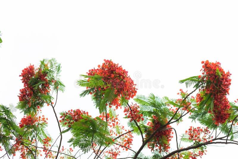 Het koninklijke de boom van de poincianavlam bloeien stock foto