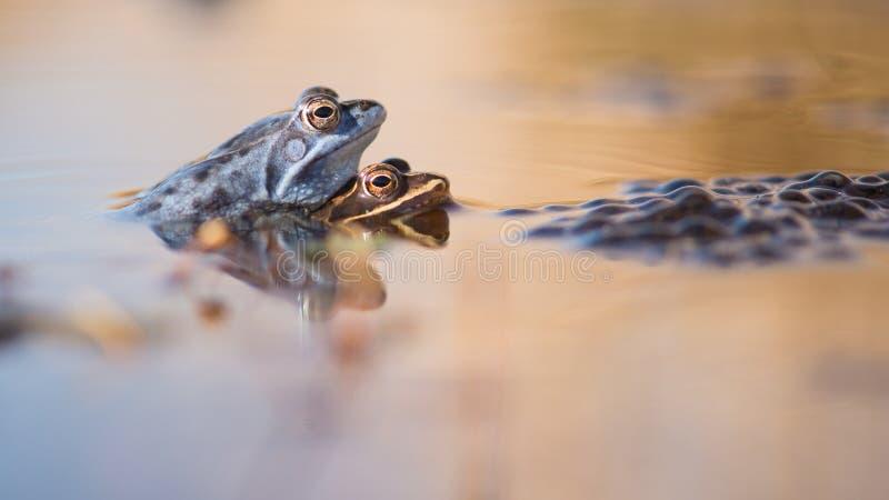 Het koppelen legt kikkers in het water naast kuit vast stock foto