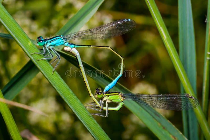 Het koppelen paar van azuurblauwe damselfly, een mooie libel stock afbeelding