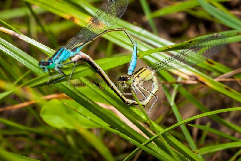 Het koppelen paar van azuurblauwe damselfly, een mooie libel stock fotografie