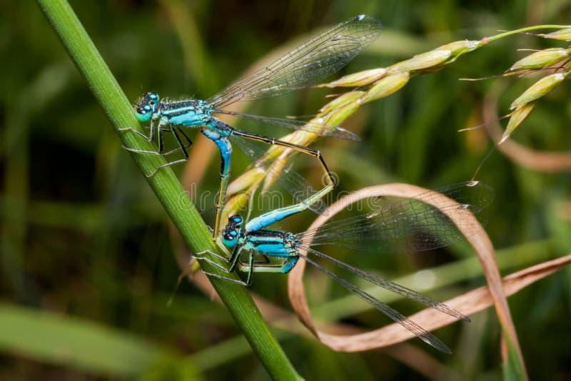 Het koppelen paar van blauwe azuurblauwe damselfly, libel stock afbeeldingen