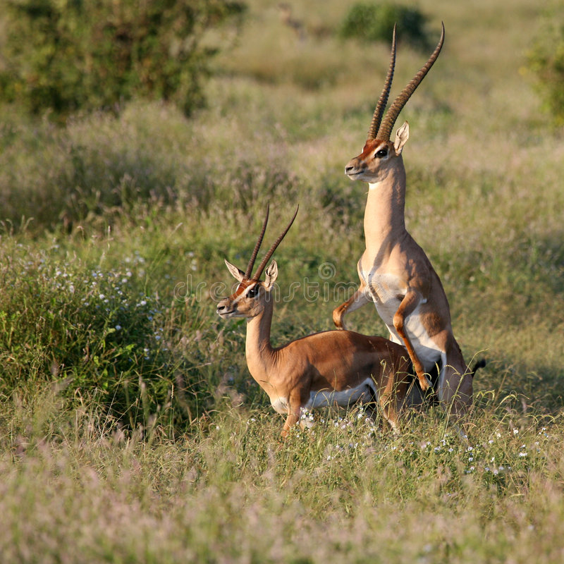 Het koppelen van de Gazelle van de toelage stock afbeeldingen