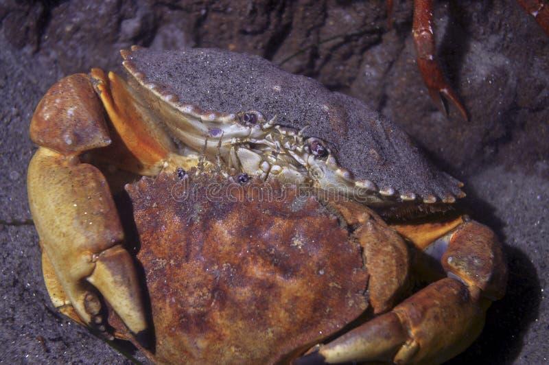Het koppelen van de Rode Krabben van de Rots stock fotografie