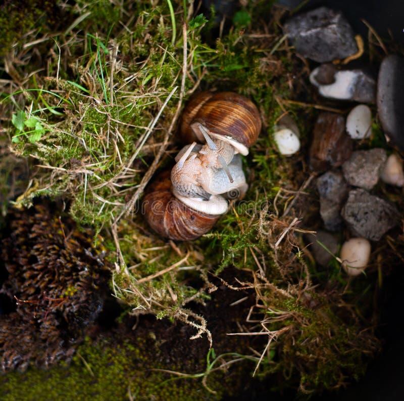 Het koppelen van slakken Copulation van Schroef Pomatia stock foto's