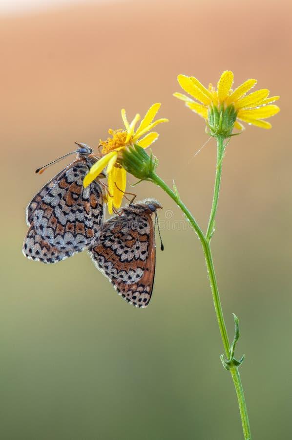 Het koppelen van twee vlindersmelita op een de zomerdag in een bosopen plek op de bloem stock fotografie