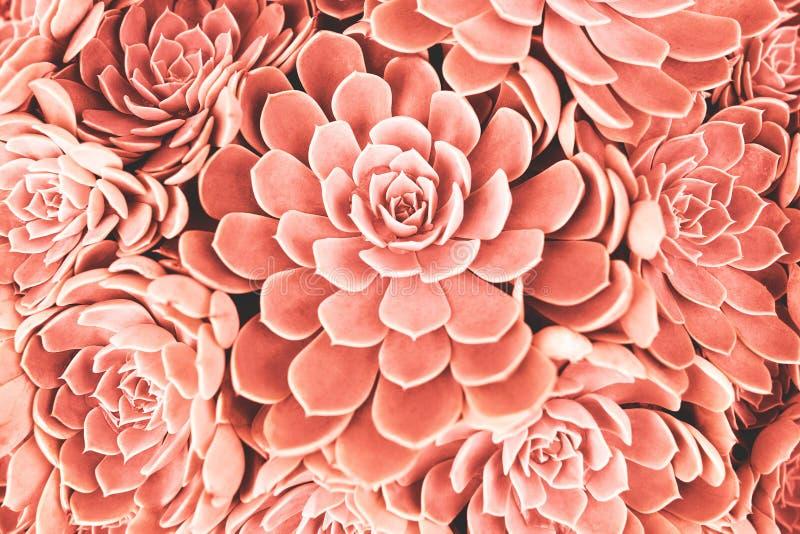 Het koraal stemde succulent stock foto