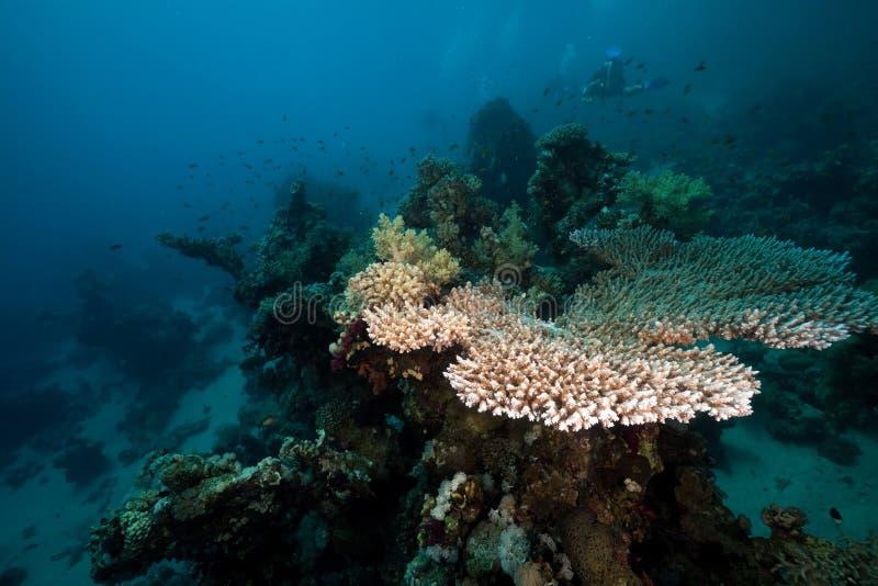 Het koraal van de lijst in het Rode Overzees. royalty-vrije stock afbeelding