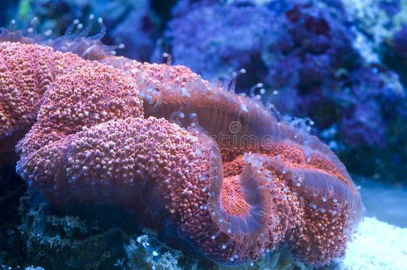 Het koraal van hersenen stock afbeeldingen