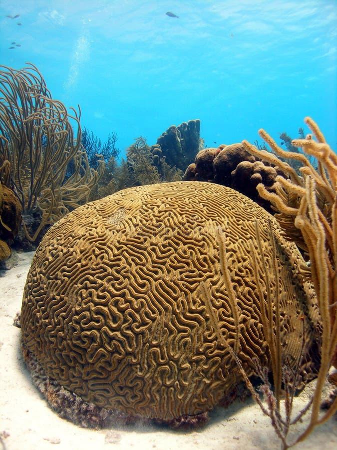 Het koraal van hersenen royalty-vrije stock fotografie