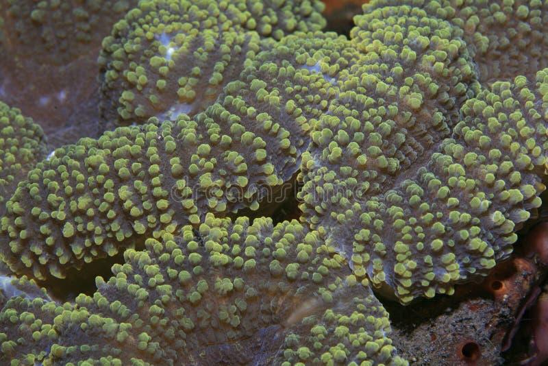 Het koraal van hersenen royalty-vrije stock foto