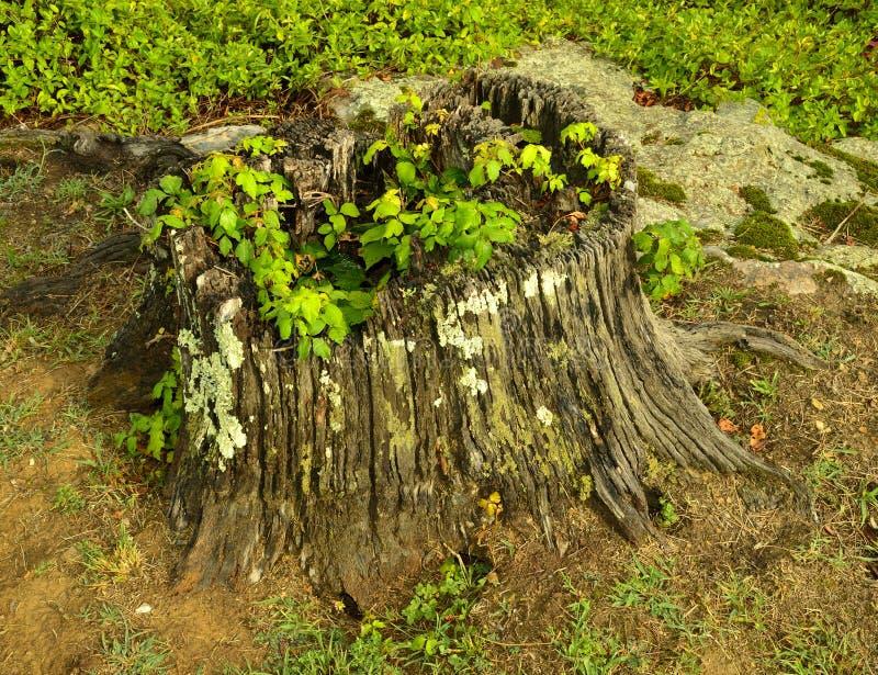 Het KORSTMOS van de boomstomp stock foto