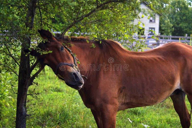 Het krassen van het paard royalty-vrije stock foto's