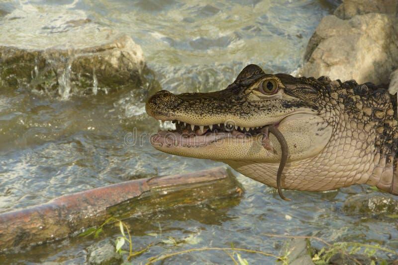 Het krokodille voeden royalty-vrije stock afbeeldingen