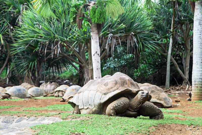 Het krokodilpark in Mauritius, Afrika Tartaruga gigante looki stock fotografie