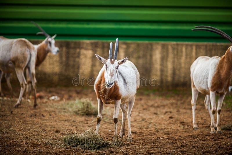 Het kromzwaard Gehoornde Oryx, sluit omhoog stock afbeelding