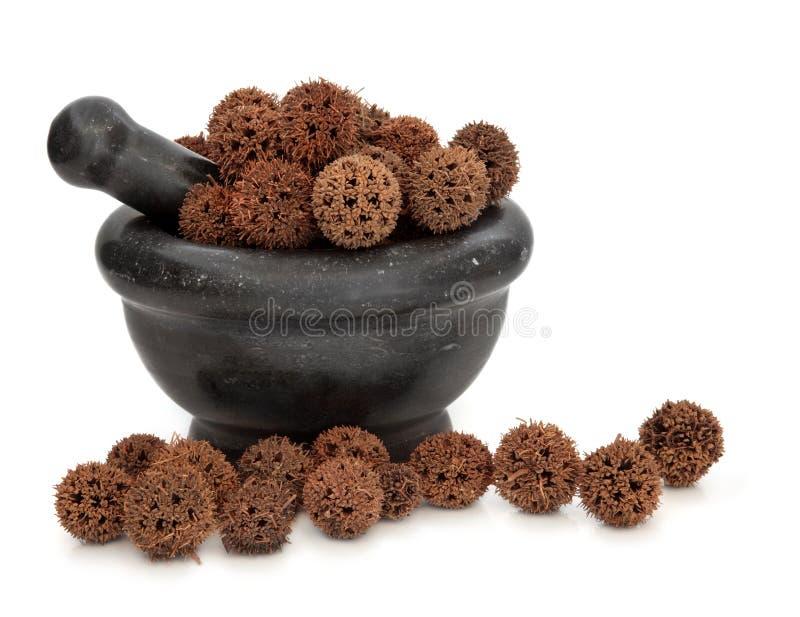 Het Kruid van het Fruit van Sweetgum stock afbeelding
