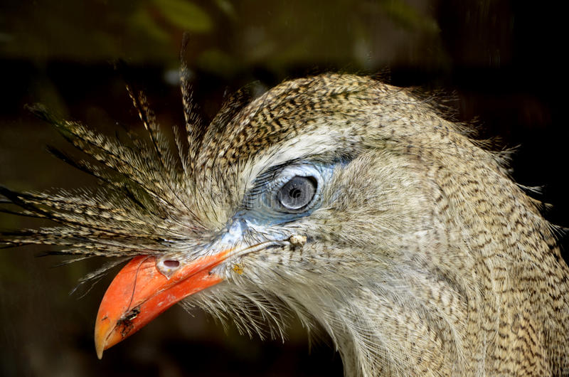 Het Kuifseriema-Hoofdportret met rode poten van het Vogelclose-up royalty-vrije stock foto's