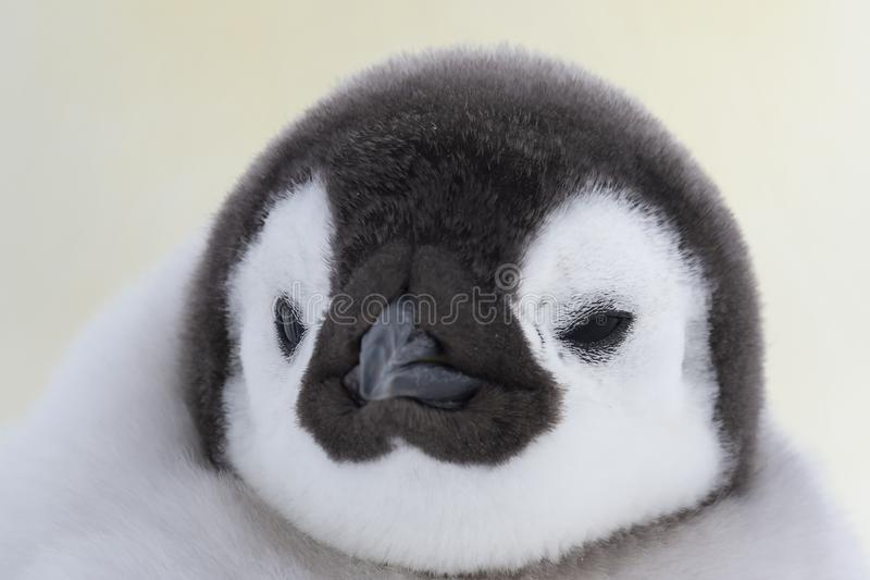Het kuiken dichte omhooggaand van de keizerpinguïn royalty-vrije stock fotografie