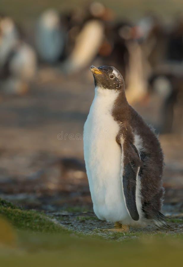 Het kuiken die van de Gentoopinguïn zich dichtbij pinguïnkolonie bevinden royalty-vrije stock afbeeldingen
