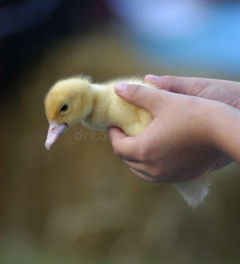 Download Het Kuiken van de baby stock afbeelding. Afbeelding bestaande uit vogel - 34885