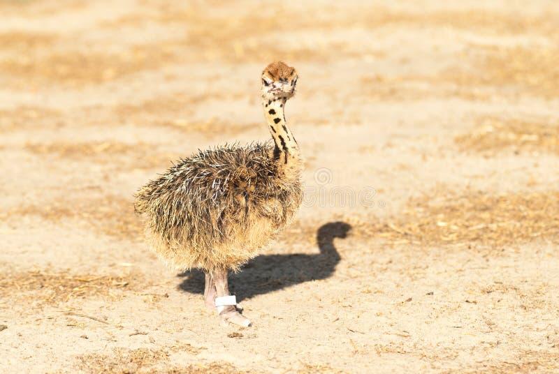 Het kuiken van de struisvogel stock fotografie