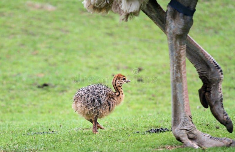 Het Kuiken van de struisvogel stock afbeelding