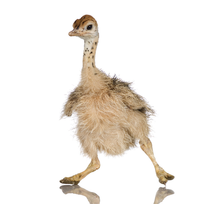 Het Kuiken van de struisvogel stock afbeeldingen