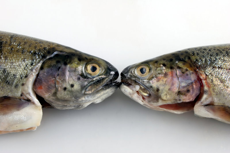 Het Kussen van twee Forel stock foto