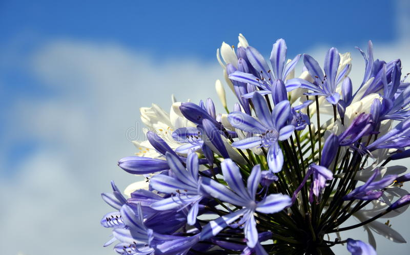 Het kwart van Lelie van de Nijl, riep ook Afrikaanse Blauwe Leliebloem royalty-vrije stock fotografie