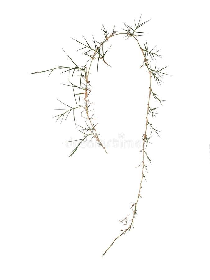 Het kweekgras Elymus van laagaka repens invasief die onkruid door tuinlieden wordt gehaat Geïsoleerd op wit royalty-vrije stock afbeeldingen