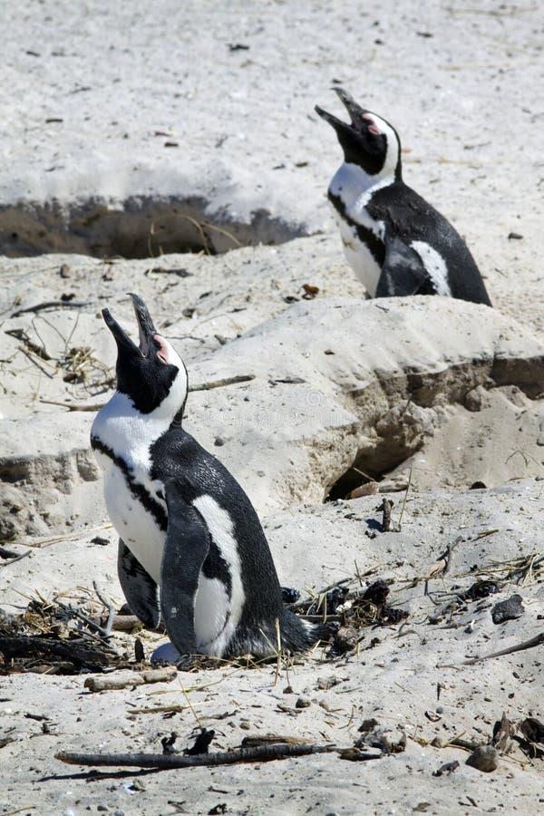 Het kweken van Afrikaanse Pinguïnen bij het Strand van Keien, Kaap stock foto's