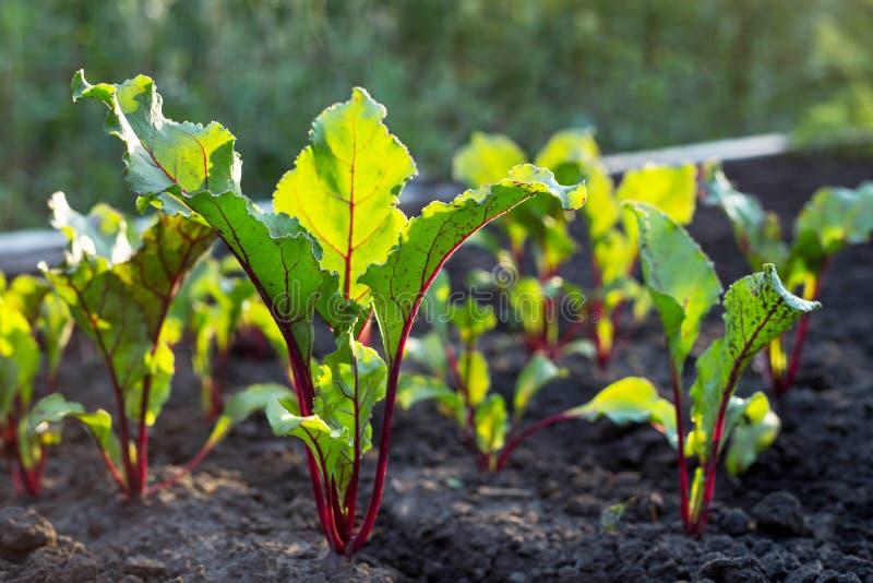 Het kweken van bieten op het plantaardige bed stock fotografie
