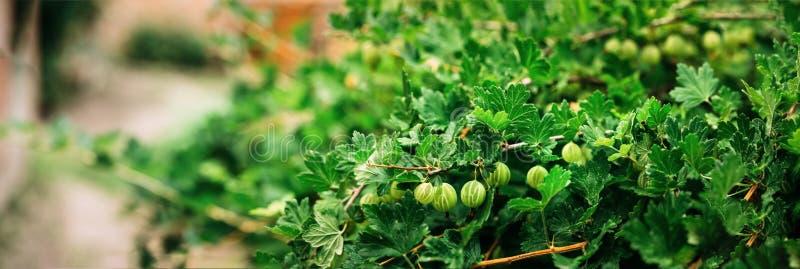 Het kweken van de Organische Close-up van Bessenkruisbessen op een Tak van Kruisbes Bush Rijpe Kruisbes in Fruittuin royalty-vrije stock afbeeldingen