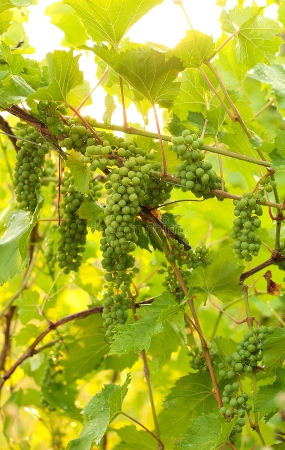 Het kweken van druif in wijngaard in het zonlicht Clusters van onrijp druivenclose-up stock fotografie