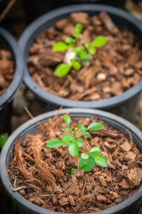 Het kweken van groene boom in pot coverred door bruine kokosnotenshell residu stock fotografie