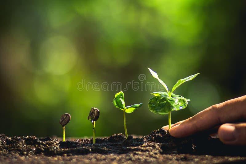 Het kweken van Koffiebonen die jong boompje Natuurlijk licht water geven royalty-vrije stock foto's