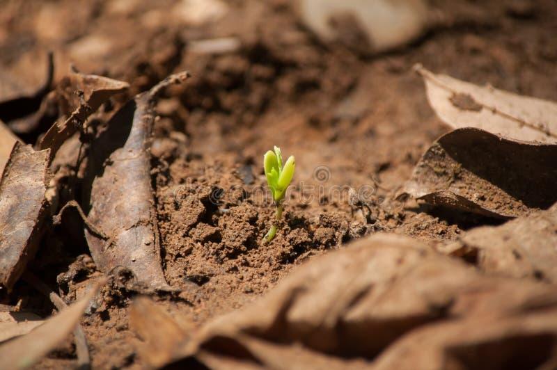 Het kweken van koffiezaad op grond stock afbeelding