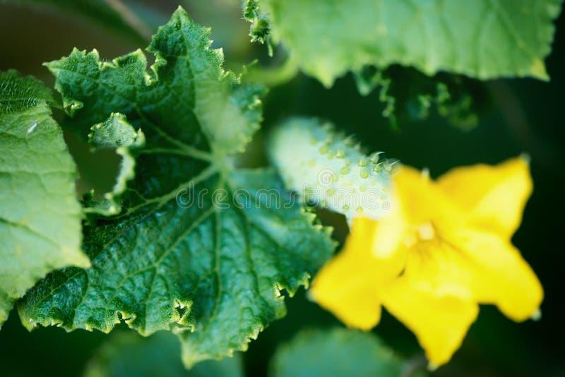 Het kweken van komkommers in de tuin Sluit omhoog geschoten stock afbeelding