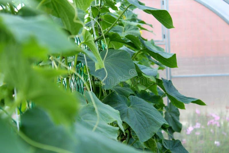 Het kweken van komkommers in serres groen en sappig gras stock fotografie