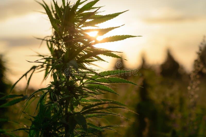 Het kweken van marihuana op gebied stock afbeelding