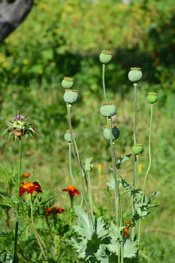 Het kweken van opium poppyhead Oogst van opium van groene papaver royalty-vrije stock foto