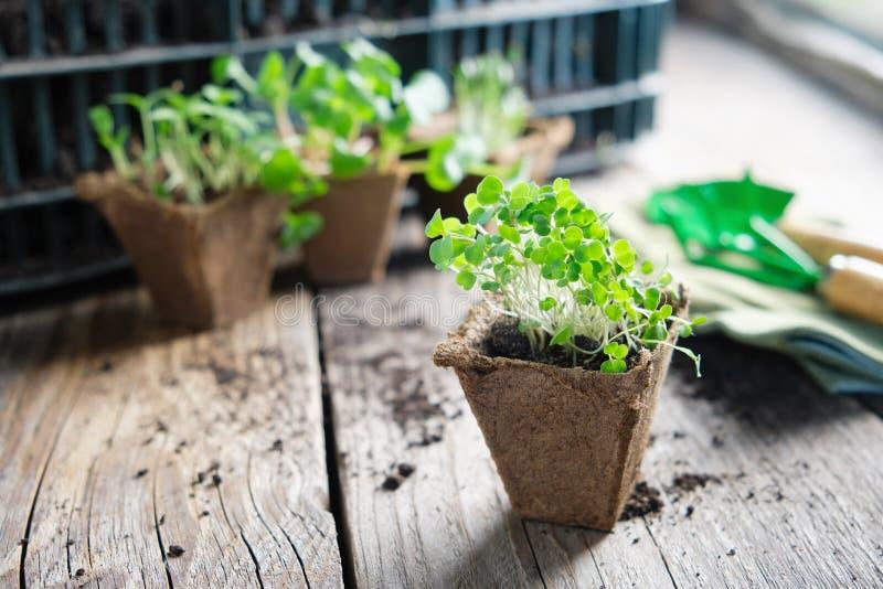 Het kweken van zaailingen van tuininstallaties voor het planten stock afbeeldingen