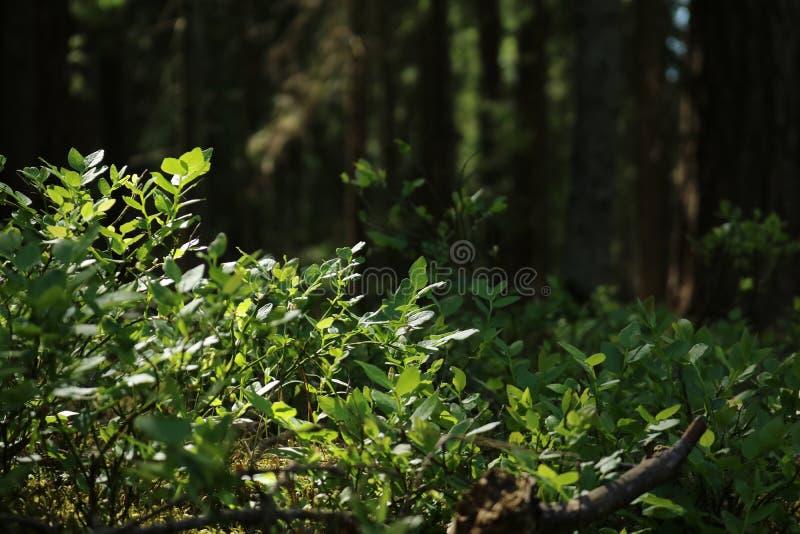 Het laatste zonlicht in een bos stock foto