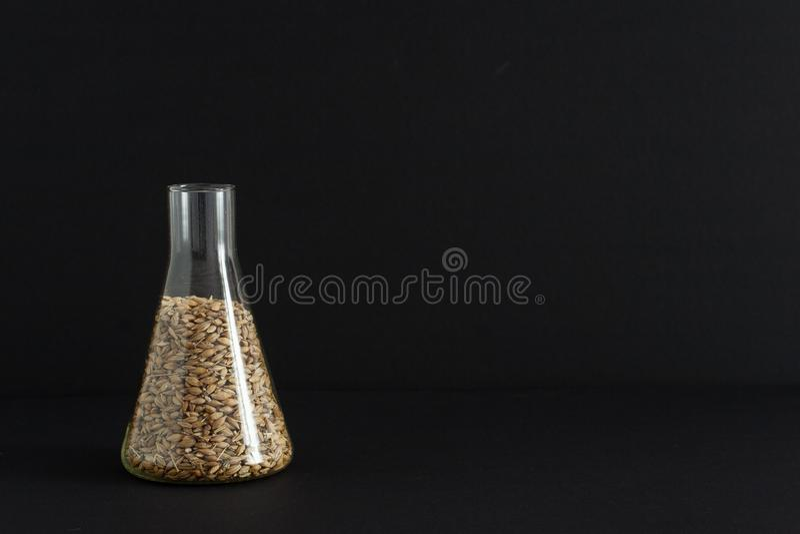 Het laboratorium voor voedingsmiddelenanalyse, gerstzaden in een chemisch glas wordt genomen voor een test bij de distilleerderij royalty-vrije stock afbeeldingen