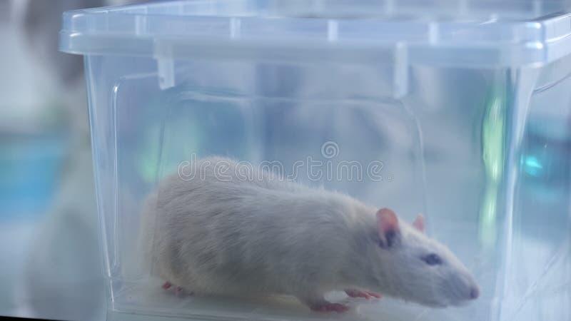 Het laboratoriumrat van Nice in plastic doos, wetenschappelijke experimenten, nieuwe medicijnontwikkeling royalty-vrije stock afbeelding