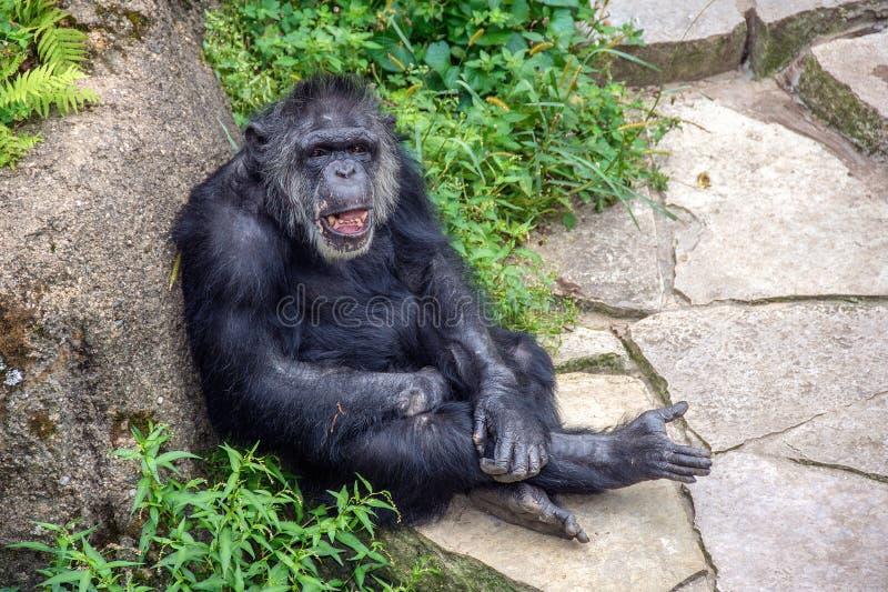 Het lachen chimpansee die op rots leunen stock fotografie