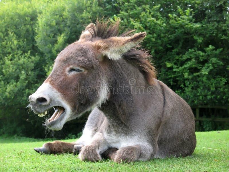 Het lachen ezel royalty-vrije stock foto