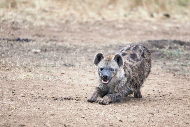 Het lachen hyena in Masai Mara royalty-vrije stock foto